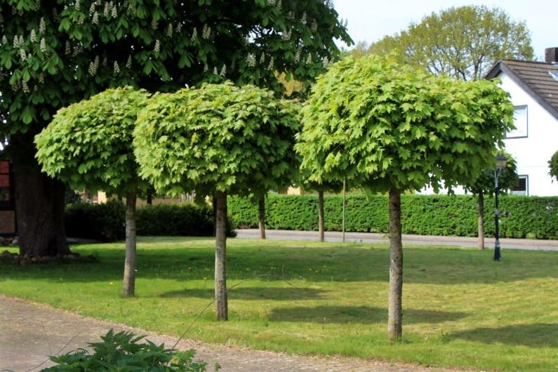 Лиственные деревья в ландшафтном дизайне Уфа